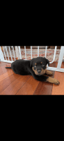 Rottweiler Puppies for sale in Paramus, NJ 07652, USA. price: NA