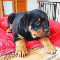 Rottweiler Puppies for sale in Texas City Dike, Texas City, TX, USA. price: NA