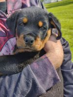 Rottweiler Puppies for sale in Cincinnati, OH, USA. price: NA