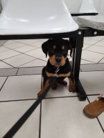 Rottweiler Puppies for sale in 201 N Nellis Blvd, Las Vegas, NV 89110, USA. price: NA