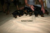 Rottweiler Puppies for sale in Brentwood, CA 94513, USA. price: NA