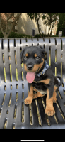 Rottweiler Puppies for sale in Alpharetta, GA, USA. price: NA
