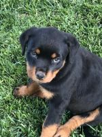 Rottweiler Puppies for sale in Riverside, CA 92504, USA. price: NA