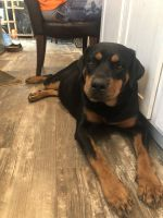 Rottweiler Puppies for sale in Smithville, TX 78957, USA. price: NA