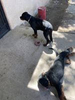 Rottweiler Puppies for sale in Bosque Farms, NM 87068, USA. price: NA