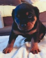 Rottweiler Puppies for sale in Lewisburg, PA 17837, USA. price: NA