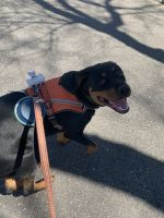 Rottweiler Puppies for sale in Newport News, VA, USA. price: NA