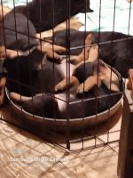 Rottweiler Puppies for sale in Grayling, MI 49738, USA. price: NA