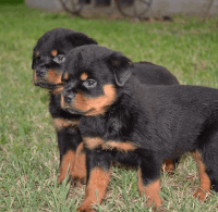 Rottweiler Puppies for sale in Chicago, IL, USA. price: NA