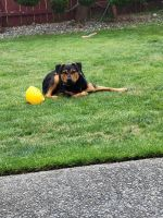 Rottweiler Puppies for sale in Tacoma, WA 98499, USA. price: NA