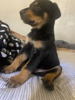 Rottweiler Puppies for sale in Hacienda Heights, CA, USA. price: NA