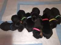 Rottweiler Puppies for sale in Vallejo, CA, USA. price: NA