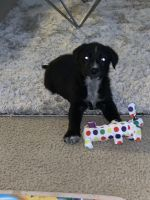 Rottweiler Puppies for sale in Mt Vernon, WA, USA. price: NA