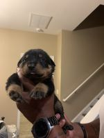 Rottweiler Puppies for sale in Greenville, SC, USA. price: NA