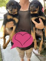 Rottweiler Puppies for sale in S Pleasant Ave, Ontario, CA 91761, USA. price: NA