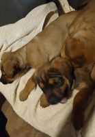 Rottweiler Puppies for sale in Paden, OK 74860, USA. price: NA