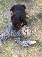 Rottweiler Puppies for sale in Whittier, CA, USA. price: NA