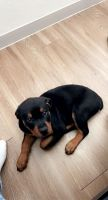 Rottweiler Puppies for sale in Tampa, FL, USA. price: NA