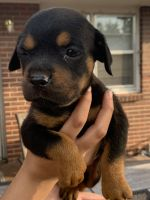 Rottweiler Puppies for sale in Greeley, CO 80631, USA. price: NA
