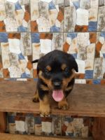 Rottweiler Puppies for sale in Cape Canaveral, FL 32920, USA. price: NA