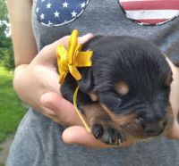 Rottweiler Puppies for sale in Jackson, MI, USA. price: NA