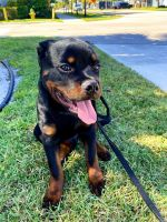 Rottweiler Puppies for sale in Fort Lauderdale, FL, USA. price: NA