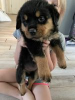 Rottweiler Puppies for sale in Springville, NY 14141, USA. price: NA