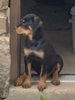 Rottweiler Puppies for sale in Muskogee, OK, USA. price: NA