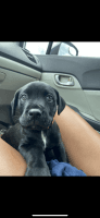 Rottweiler Puppies for sale in Orlando, FL, USA. price: NA