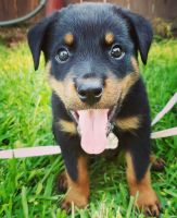 Rottweiler Puppies for sale in Austin, TX, USA. price: NA
