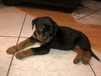 Rottweiler Puppies for sale in 9491 Locust Ave, Fontana, CA 92335, USA. price: NA