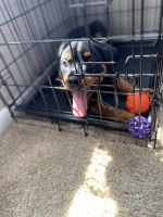Rottweiler Puppies for sale in St. Louis, MO, USA. price: NA