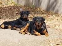 Rottweiler Puppies for sale in Denton, TX, USA. price: NA