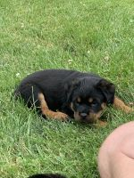 Rottweiler Puppies for sale in Catonsville, MD 21228, USA. price: NA