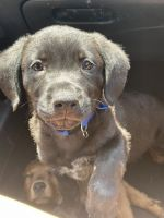Rottweiler Puppies for sale in Oklahoma City, OK, USA. price: NA