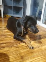 Rottweiler Puppies for sale in Battle Ground, WA 98604, USA. price: NA