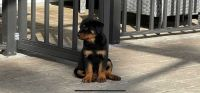 Rottweiler Puppies for sale in Palm Coast, FL, USA. price: NA