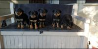 Rottweiler Puppies for sale in Atascocita, TX 77346, USA. price: NA