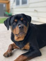 Rottweiler Puppies for sale in San Antonio, TX, USA. price: NA