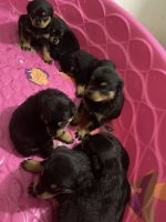 Rottweiler Puppies for sale in Gary, IN, USA. price: NA