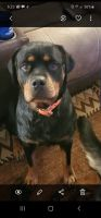 Rottweiler Puppies for sale in Bethalto, IL, USA. price: NA