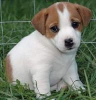 Russell Terrier Puppies for sale in Phoenix, AZ, USA. price: NA
