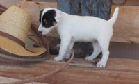 Russell Terrier Puppies for sale in Jackson, MS, USA. price: NA