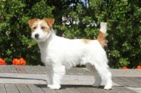 Russell Terrier Puppies for sale in Berkeley, CA, USA. price: NA