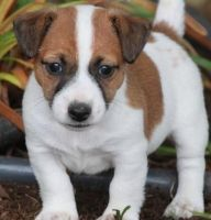 Russell Terrier Puppies for sale in Burbank, CA, USA. price: NA
