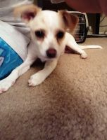 Russell Terrier Puppies for sale in Sacramento, CA, USA. price: NA