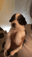 Russell Terrier Puppies for sale in Spring Valley, CA 91977, USA. price: NA