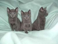 Russian Blue Cats for sale in Wapiti, WY, USA. price: NA