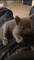 Russian Blue Cats for sale in Louisville, KY, USA. price: NA