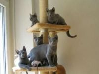 Russian Blue Cats for sale in Rochester, MN, USA. price: NA